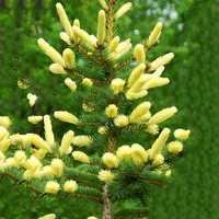 Egrow 50PCS/Pack Cedar Seeds Spruce Tree Seedling Rare Tree Bonsai Plant JAPANESE Cedar Home Garden Bonsai