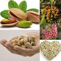 Egrow 5Pcs/Pack Pistachios Seeds Garden Outdoor Nut Tree Fruit Tree Seeds Planting