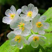 Egrow 100Pcs/Bag Umbrella Leaf Dysosma Pleiantha Seeds Transparent Flower Seeds Delicate Garden Seeds DIY Garden Flower Seeds