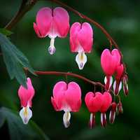 Egrow 10Pcs Dicentra Spectabilis Seeds Bleeding Heart Garden Plant Heart-Shaped Flowers