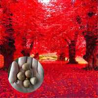 Egrow 2 Pcs/Pack American Red Oak Seeds Beautiful Tree DIY Home Garden Plants Bonsai Tree Easy To Grow