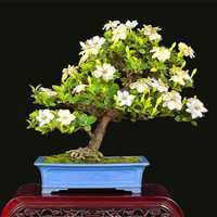 Egrow 100Pcs/Pack Gardenia Seeds DIY Home Garden Potted Bonsai Amazing Smell & Beautiful Flowers Plant for Room