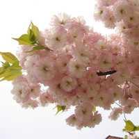Egrow 10Pcs Japanese Sakura Seeds Pink Plants Cherry Blossoms Flower Bonsai Potted Sakura Tree