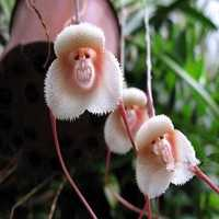 Egrow 200PCS Monkey Face Orchids Seeds Multiple Varieties Plants Garden Bonsai Flower