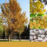 Egrow 5 Pcs/Pack Ginkgo Biloba Seeds Rare Maidenhair Tree Seed Strong Adaptability Garden Fruit Tree