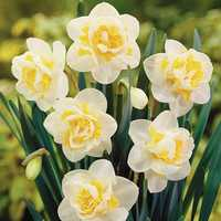 Egrow 100 pcs Aquatic Daffodil Seeds Narcissus Flower Double Petals Home Courtyard Bonsai Plant