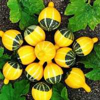 Egrow 10Pcs/Bag Pumpkin Seeds NON-GMO Edible Rare Chinese Rainbow Bulb Vegetable Fruit Seeds Herb Mini Bonsai Planter Home and Garden