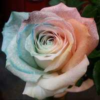 100Pcs Multicolor Rose Seeds Purple Pink Heart Roses Seeds Multicolor Garden Flowers
