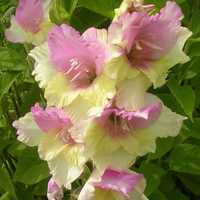 Egrow 100 PCS Gladiolus Flower Seeds Rare Sword Lily Flowers Courtyard Garden Potted Plant