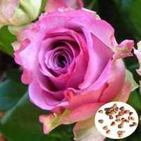 50pcs Purple Red Rose Seeds DIY Home Garden Dec