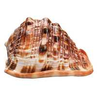 Natural Bull's mouth Helmet Conch Shell Coral Sea Snail FishTank Adorn Ornament Home Decorations