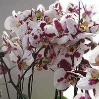 Egrow 200pcs/Bag Phalaenopsis Orchid Seeds Rare Bonsai Plants Flowers Seeds For Home Garden Plants