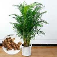 Egrow 5 Pcs/Pack Potted Bamboo Seeds Home Decoration Areca Palm Bonsai Butterfly Palm Plants Bonsai