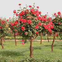 Egrow 100Pcs Red Rose Tree Seeds DIY Home Garden Potted Balcony Yard Flower Plant