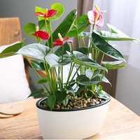 120Pcs/Bag Anthurium Bonsai Indoor Potted Hydroponic Flowers Seeds Anthurium For Office Decoration Home Garden Potted Houseplant Plants