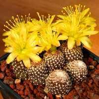 Egrow 100 Pcs/Pack Cacyus Seeds Ball Cactus Garden Rare Succulent Plant Plantas Bonsai Celestial Flower Pot Planters Flores