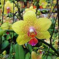 Egrow 200pcs/Bag Phalaenopsis Rare Orchid Seeds Bonsai Plants Flowers Seeds For Home Garden Plants