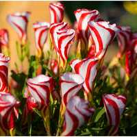 Egrow 100pcs/Bag Oxalis Versicolor Candy Cane Sorrel Seeds Rare Flowers Very Easy to Grow Seeds for Home Garden Blooming Plants
