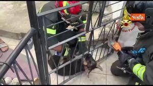 Incastrato nella ringhiera, salvato il cucciolo di pastore tedesco: toccante a Isernia