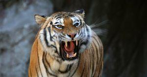 Zoo, ragazza sbranata da una tigre: fine orribile per colpa di un collega, l'errore imperdonabile