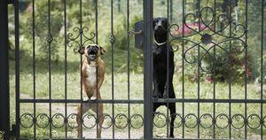 Treviso, 56enne muore da solo in casa: i suoi cinque cani affamati mangiano il corpo