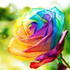 Buy Egrow 200Pcs Rainbow Rose Seeds Rare Colorful Flower Potted Plant Garden Bonsai