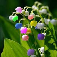 Egrow 50 PCS Rare Lily of Valley Flower Seeds Colored Rainbow Bell Orchid Seed Garden Bonsai