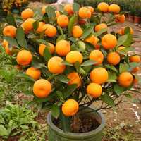 30Pcs Edible Fruit Mandarin Bonsai Tree Seeds Citrus Seeds Bonsai Mandarin Orange Seeds