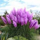 Recommended Egrow 200Pcs Pampas Grass Seed Potted Purple Pampas Grass Garden Ornamental Plants