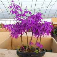 Egrow 40Pcs Purple Maple Seeds Rare Color Beautiful Purple Ghost Bonsai Plants Trees