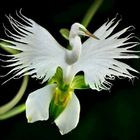 Wholesale Price Egrow 200pcs Japanese Egret Flowers Seeds White Egret Orchid Seeds Radiata Rare White Orchid