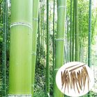 Buy at Best Price Egrow 100pcs Garden Evergreen Arbor Moso Bamboo Seeds Courtyard Phyllostachys Pubescens Plants
