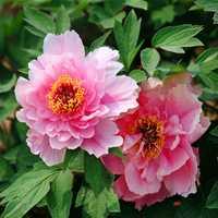 5pcs Pink Peony Flower Seeds Garden Courtyard Perennial Deciduous Shrub Plant