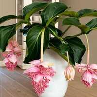Egrow 100Pcs/Pack Medinilla Magnifica Flower Seeds Beautiful Bonsai Plants For Home Garden Decor