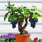 Recommended Egrow 50Pcs/Pack Grape Vine Seeds Organic Outdoor Sweet Fruit Seed Succulent Plants Indoor Bonsai