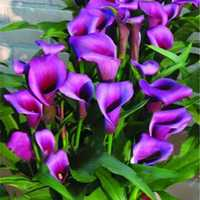 Egrow 50 PCS Calla Lily Seeds Garden Balcony Potted Perennial Flower Seeds Bonsai Ivy Flowers