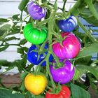Good price Egrow 100Pcs Rainbow Tomato Seeds Colorful Bonsai Organic Vegetables and Fruits Seed Home Garden