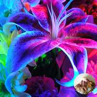Egrow 100Pcs/Pack Blue Lily Flower Seeds Pleasant Fragrance Garden Bonsai Flowers Bonsai Planting