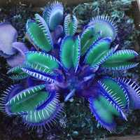 Egrow 100 PCS Garden Potted Blue Insectivorous Plant Seeds Rare Dionaea Muscipula Flytrap Bonsai