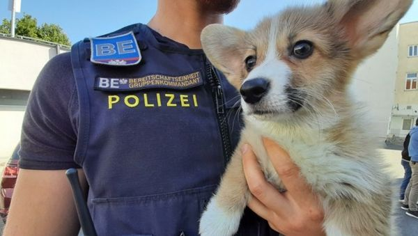 Pkw in Wien gestoppt: Sorge um Corgi-Welpen
