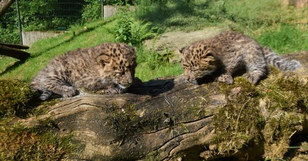 Süße Leopardenkätzchen erkundeten ihr Freigehege