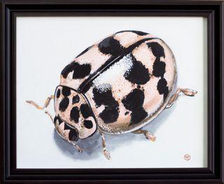 Glückskäfer 5 (Oenopia conglobata)