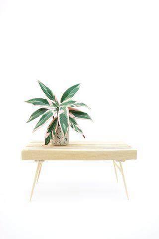 Stromanthe Triostar mit Bank