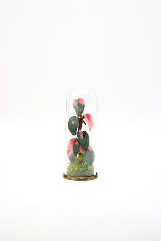 Philodendron Pink Princess Terrarium