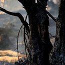Инсект ја јаде грчката шума, уништени се 100.000 стебла