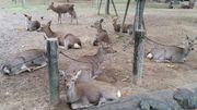 大阪京阪線近鐵奈良 奈良公園睇鹿之旅