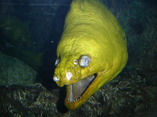 [Image: ikan-buas-Green-Moray-Eel-11.jpg]