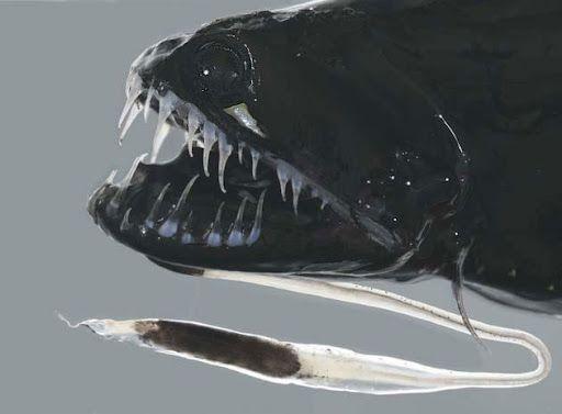[Image: ikan-buas-dragonfish-20.jpg]