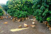珠海︰翡翠農庄 - 泥煨雞