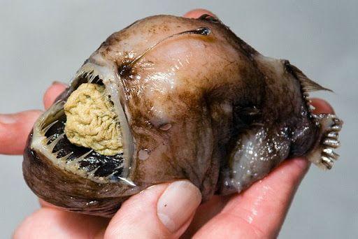 [Image: ikan-buas-anglerfish-07.jpg]